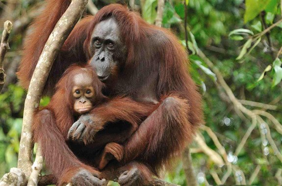 Orangutan – O Hayvan İsimleri