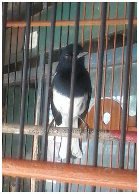 Burung kacer merupakan salah satu burung favorit bagi para pencinta burung kicau alasannya yakni me Cara Ternak Burung Kacer