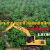 โค่นต้นปาล์มที่ให้ผลผลิตผิดปกติทิ้ง ช่วยเพิ่มผลผลิต/ไร่ และลดต้นทุนได้อย่างไร