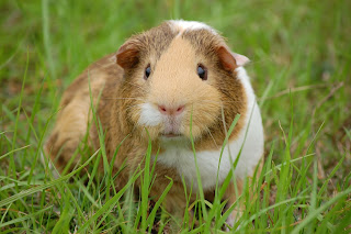 A tan and white guinea pig standing in the grass