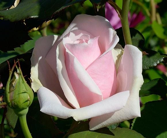 Savoy Hotel сорт розы Харкнес фото