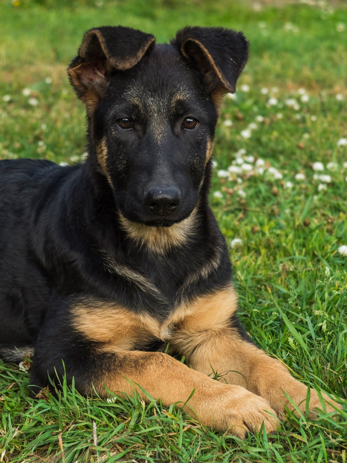 A portrait of a 3 month old German Shepherd puppy called Poppy lying on grass.