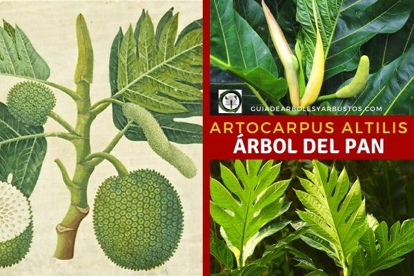 Como se cultiva la fruta de pan, Artocarpus altilis