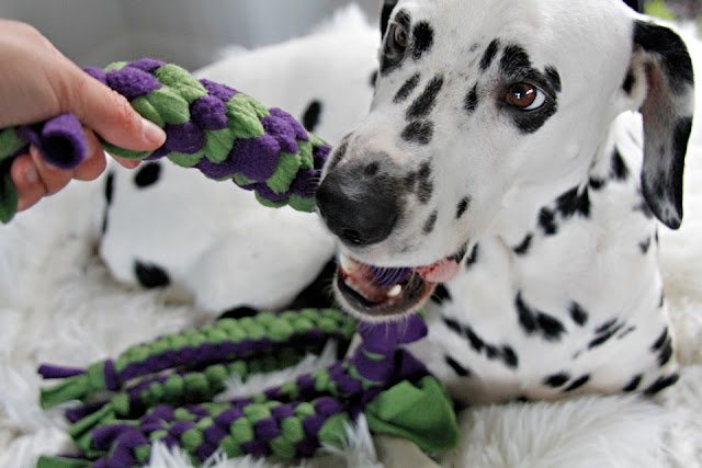 Dalmatian dog and owner playing with a pile of colourful woven fleece tug toys