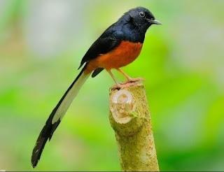 Foto Burung Murai Batu Juara Kontes Kicau Gacor Harga Terbaru
