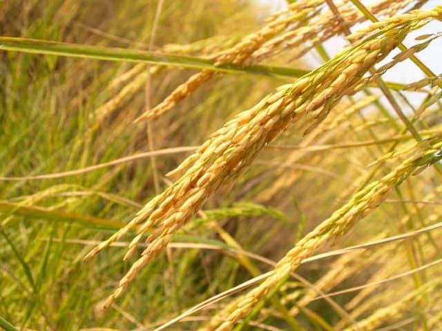 qualidades de arroz