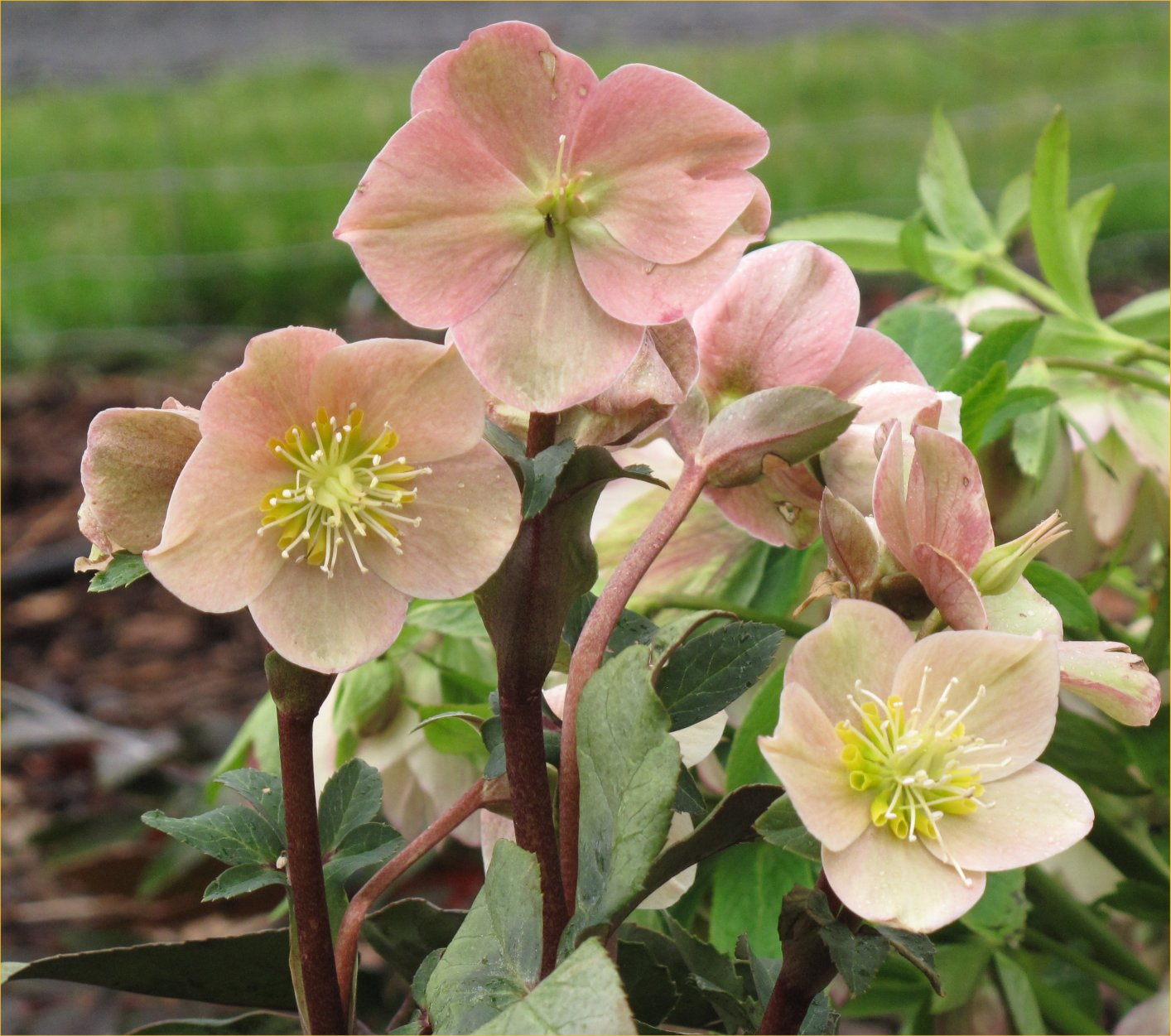 Growing Hellebores Those Lovely Harbingers Of Spring: Bloomin' News: The Beauty Of The Hellebore