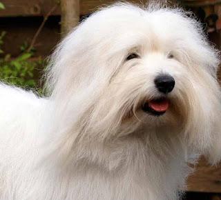 coton de tutelar cachorro