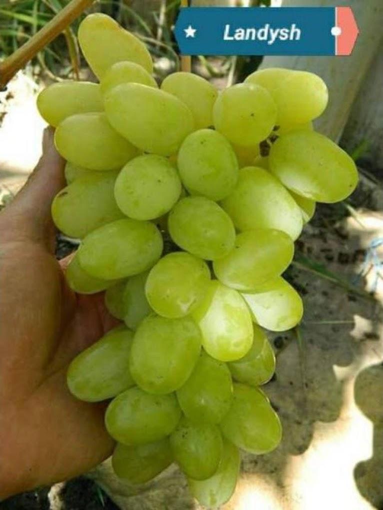 bibit buah anggur import landys super Palangkaraya