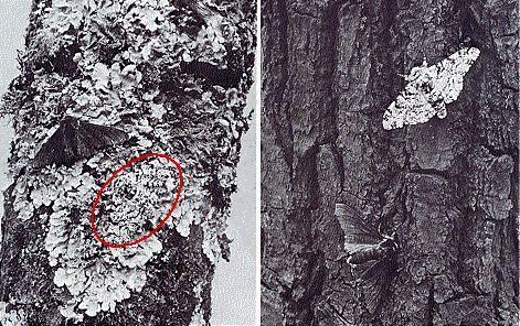 Biston betularia e selezione naturale