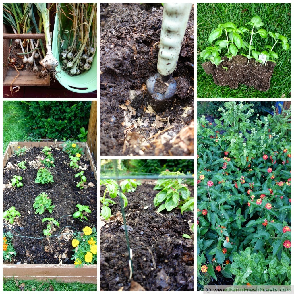 a collage of photos of a raised garden bed growing garlic and basil