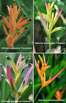 types of heliconia psittacorum