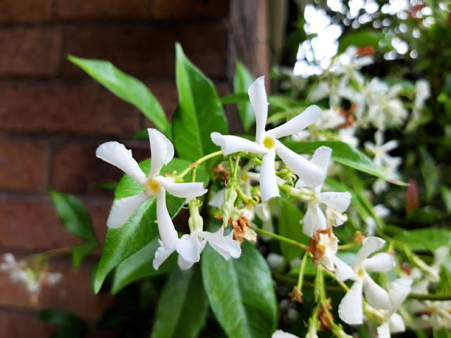 White star jasmine flowers against green leaves and a brick wall background