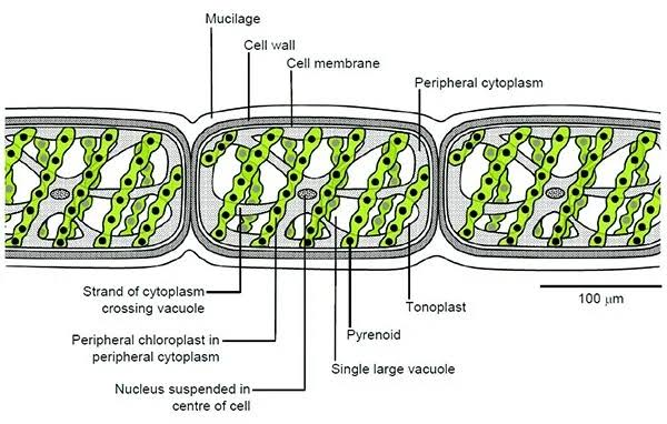Class 11 biology chapter 3 Kingdom Plantae Textbook solutions