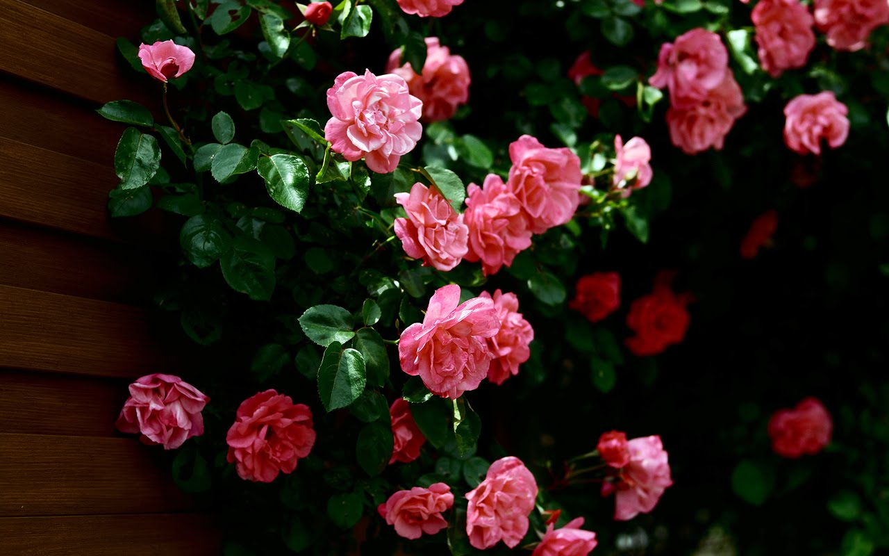 Rose Flower Wallpaper For Mobile Phone