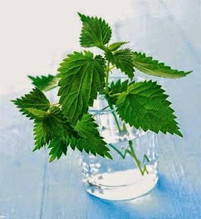 """Η """"σεμνή"""" τσουκνίδα:Το φυτό με τις 60 διαφορετικές θεραπείες!!!"""