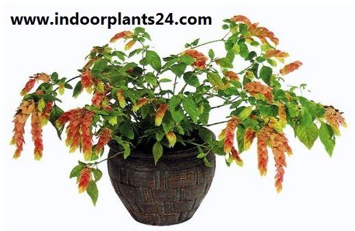 BELOPERONE GUTTATA plant image