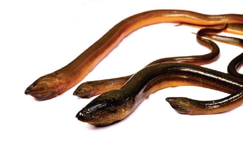 Gambar Ikan Ikan Pemakan Jentik Nyamuk-Ikan Belut