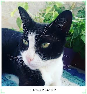 o que é catnip?