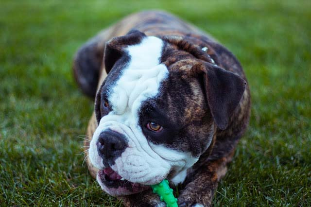 Probiotics for dogs, the myth uncovered