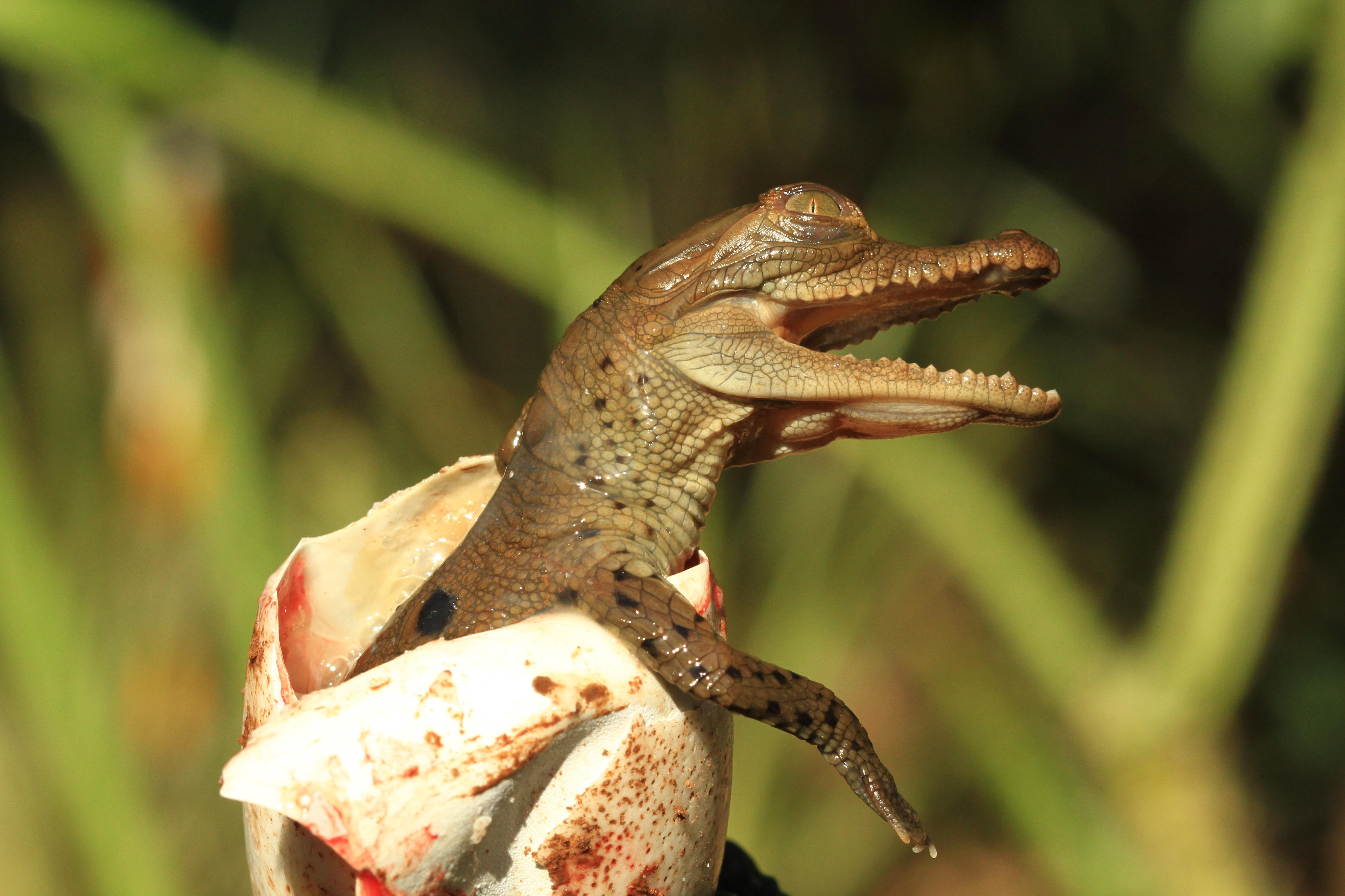 hoyennoticia.com, Nacen caimanes aguja en Centro de Rehabilitación