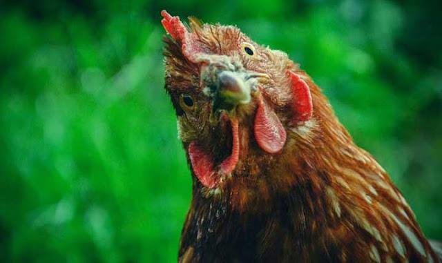 """مترجم لـ """"لغة الدجاج"""""""