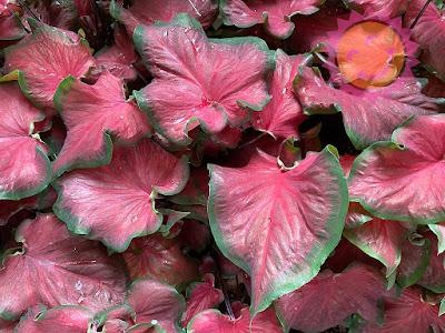 Red Ruffles Caladium