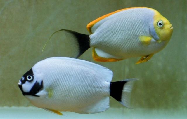 Masked Angelfish