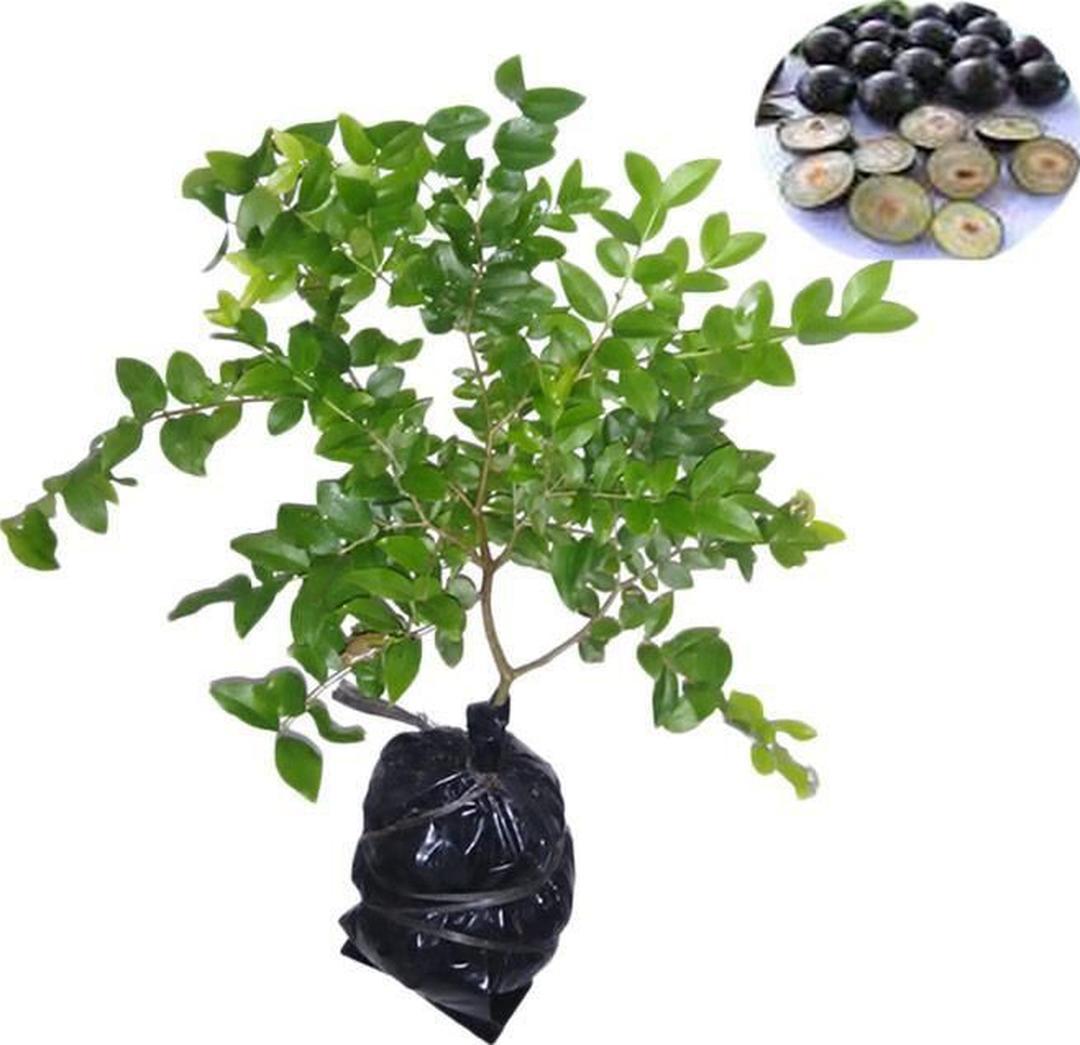 Siap Kirim! bibit tanaman buah anggur brazil sabara Kota Malang #bibit buah genjah termurah
