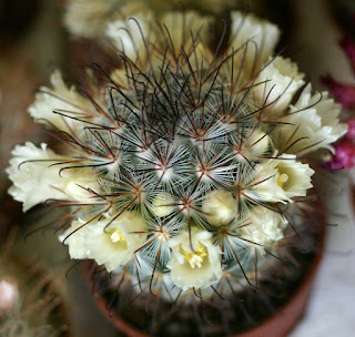 Mammillaria moelleriana - Mammillaria cowperae
