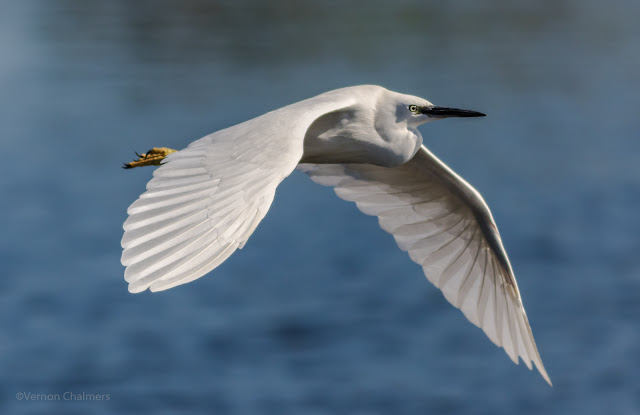 Fast Shutter Speed Action: Little egret in flight Woodbridge Island