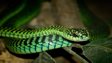 Boomslang yılanı
