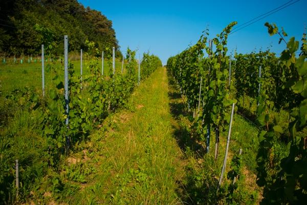 Magiczne polskie winnice - Winnica Wieliczka