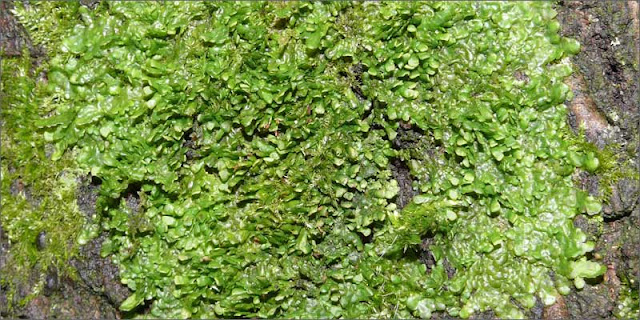 Liverwort – Radula marginata