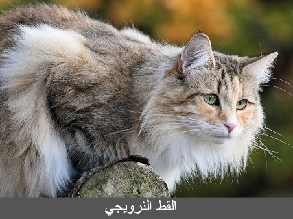القط النرويجي