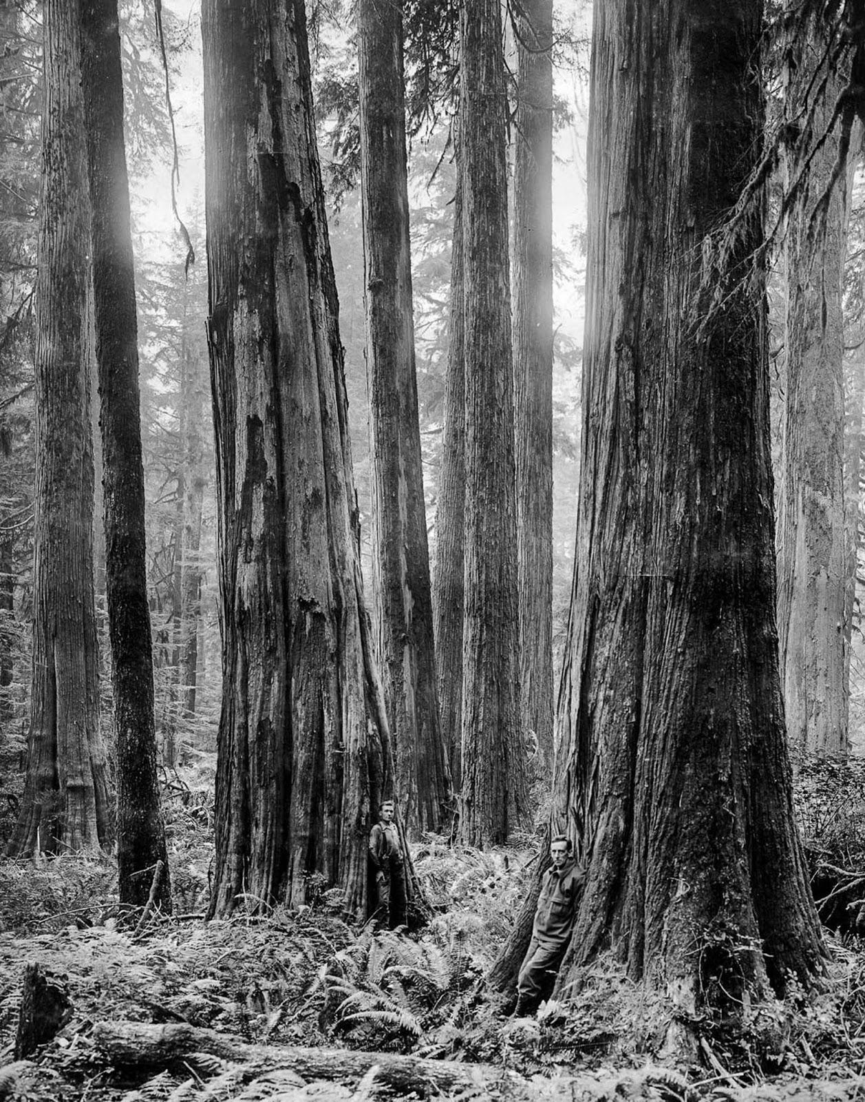Capilano Timber Company loggers stand among cedars. 1918.