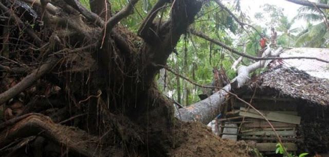 Warga Padang Bulan Jayapura tewas tertimpa pohon