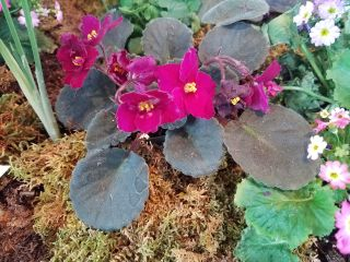 Q&A: African violet is wilted