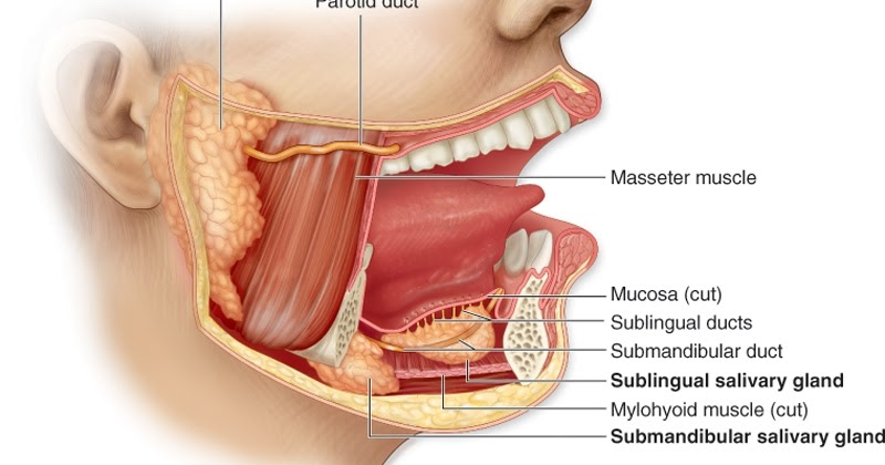 anatomy digestive diagram salivary glands dodge ram 2500 front suspension reasonably well: facial swelling and sjogren's syndrome