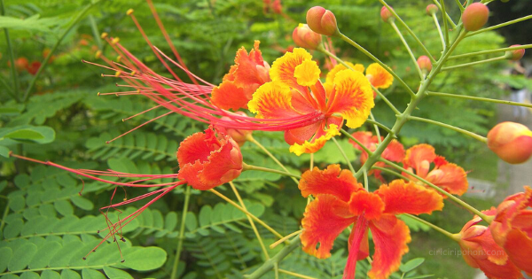 Bunga Kembang Merak