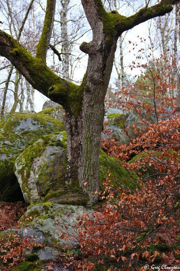 Chêne des Gorges d'Apremont, Fontainebleau,