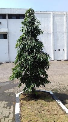 Jual pohon glodogan tiang di bogor - tukang rumput bogor