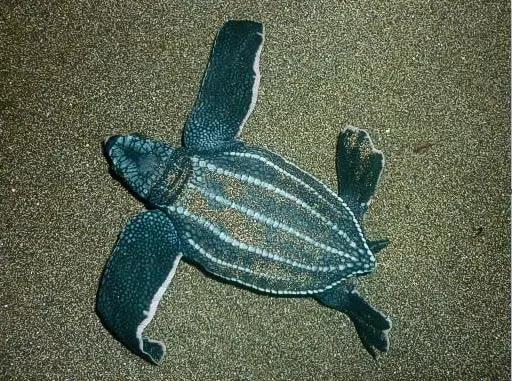 gambar reptil penyu belimbing