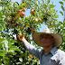 Cultivo de frutas gera renda para agricultores de Encruzilhada do Sul