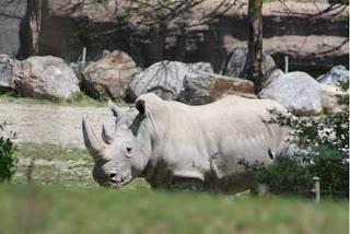 White Rhino Scenic Safari Toronto Zoo