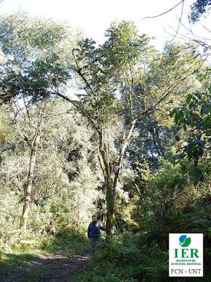 Camboatá colorado (Cupania vernalis)