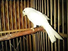 burung kenari putih