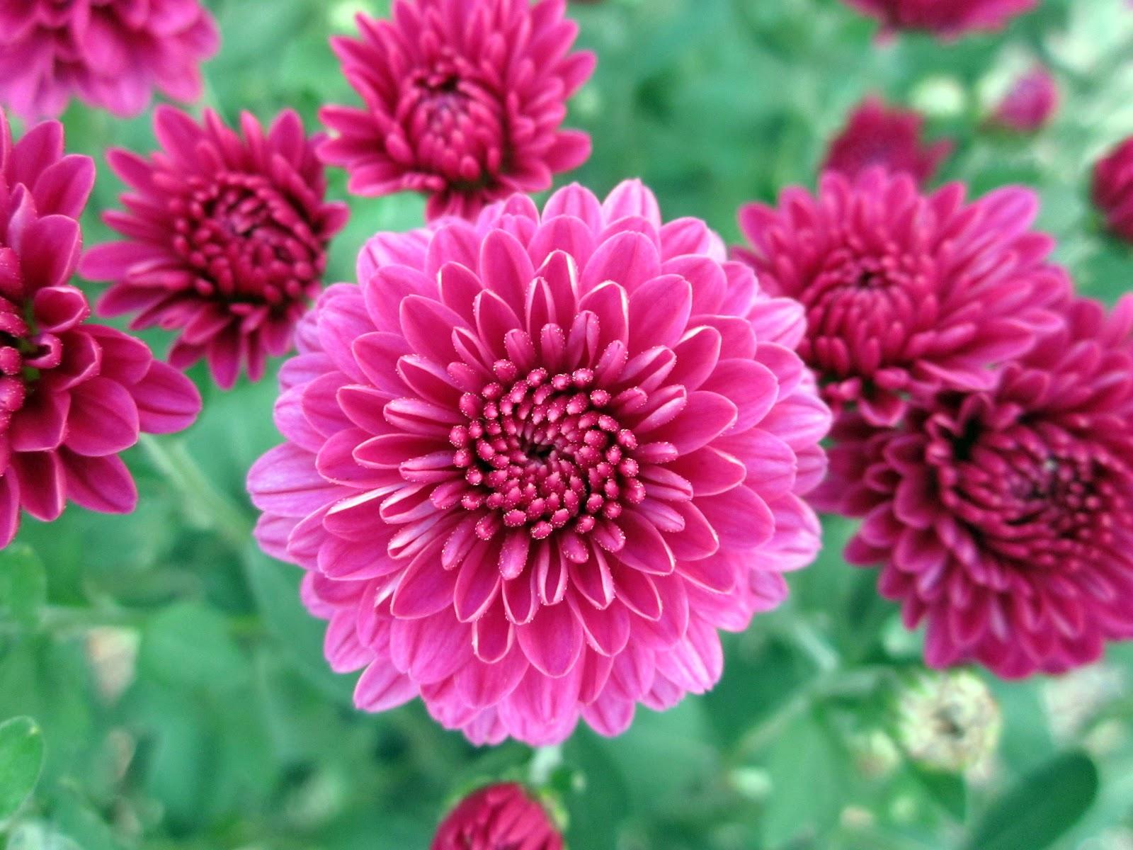 """The Chrysanthemums"" by John Steinbeck"