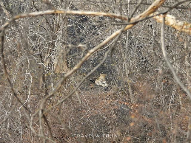 Leopard Sariska Safari