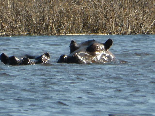 Hipopotamos dentro de una laguna en el Okawango